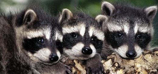 Raccoons emphasizing their cuteness