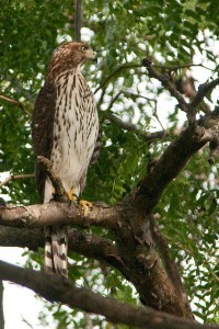Cooper's Hawk Surveying His Realm
