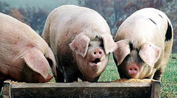 Image result for politician pigs at trough""