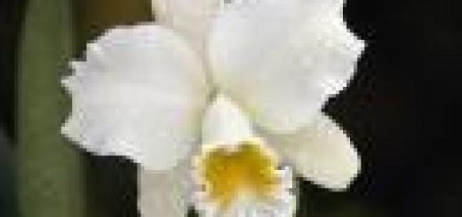 cattleya-orchid.thumbnail