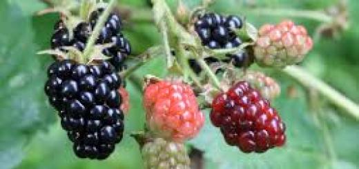 sweet dark berry