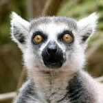 lemur face