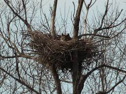 horned owls nest