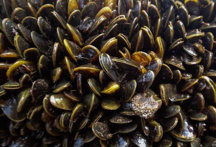 mussel pod
